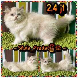 Kitten Ragdoll 3 bulan Big Bone Bulu Riwug Betina Good Bloodline