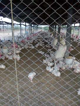 broiler poultry farm for lease 14000 birds capacity for one year