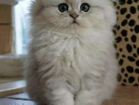 Pure Persian lineages kitten for sale