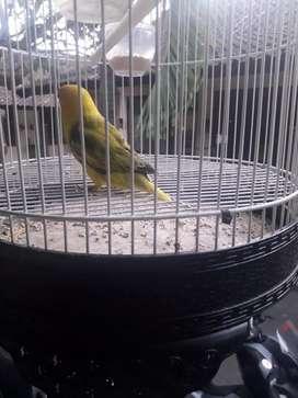 Jual lovebird jantan 6 bln