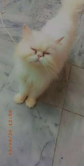 Tripple coat white Persian cat female