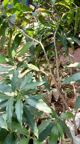 Grafted Mallika mango plant for sale.