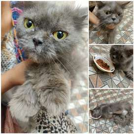 Lost cat Persian grey