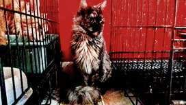 Mainecoon betina pure proven
