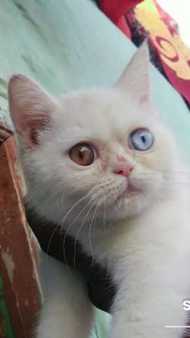 Cat British shorthair female 3 month