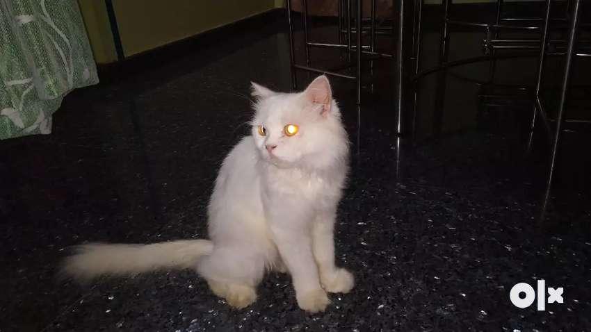 Breeding Pair Persian cats 0