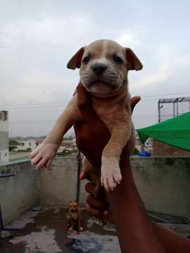 Pitbull puppies for sale.