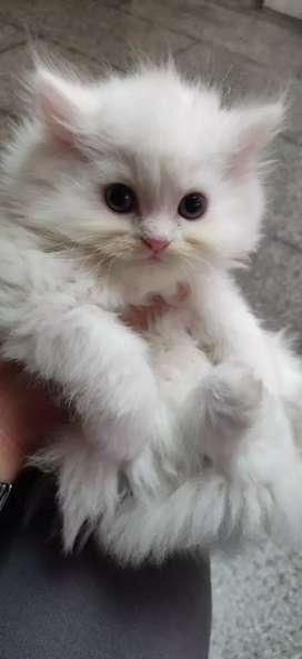 Cats (pure Persian cats)