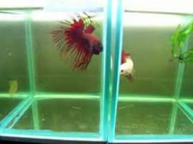 Betta fishh pair