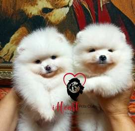 Pomeranian puppies available for import