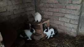 Rabit female for sale