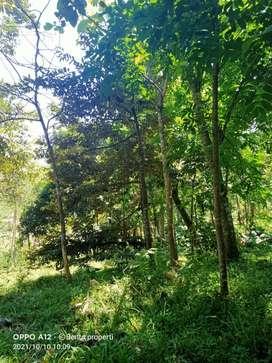 Tanah + pohon durian