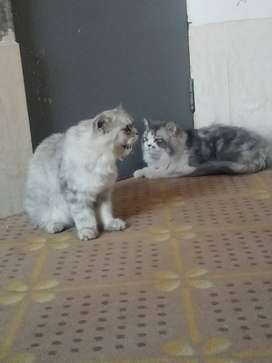 1 Pair Persian cats