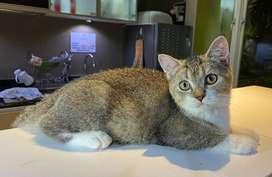 Kucing British Shorthair (BSH)