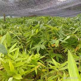 bibit bambu petung kuljar
