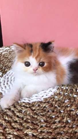 Lepas adopsi kucing persia flatnose calico betina