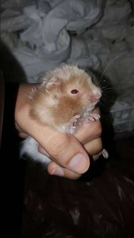 Two male Hamsters