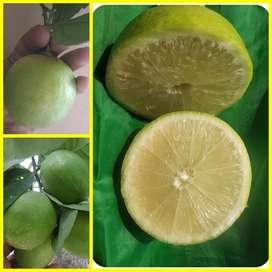 Grafted Seedless lemon plants