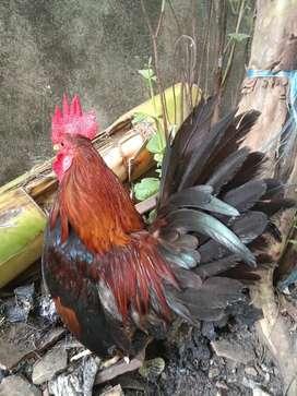Jual ayam silangan kate serama Jantan