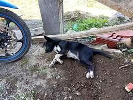 Anjing Bali murah bawat ganti makan nya saja