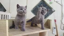 Kucing British Short hair pedigree