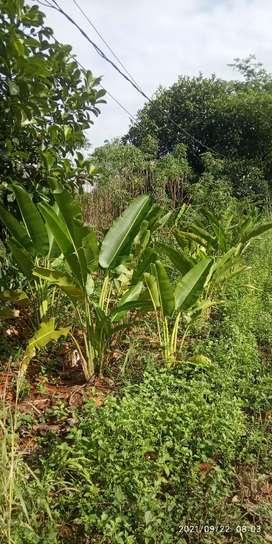 pisang kipas tinggi 1m daun