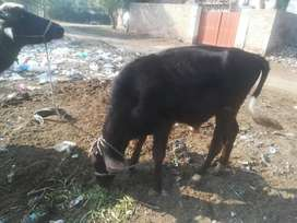 12 month old Vacha for sale in Sahiwal