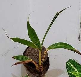 Tanaman Bonsai kelapa