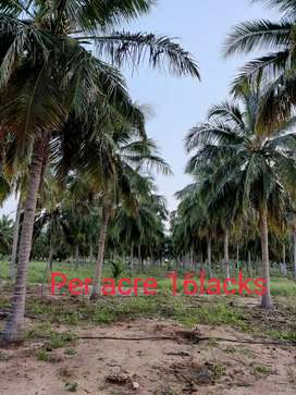Coconut farm/Agriculture land/Agricultural land/Agriland/Farm land