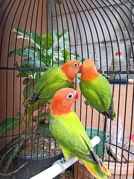 Burung lovebird biola green istimewa