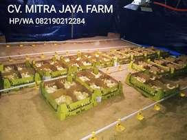 DOC Kampung Pedaging MB 502 Japfa