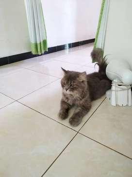 Kucing jantan abu2