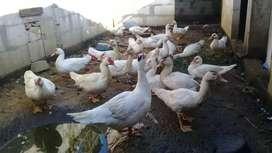 Usaha dagang ayam bebek soang