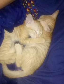 Golden tiger colour ka Billy ka bacha(baby cats) 25 din ka hai