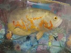 8 inch oscar fish