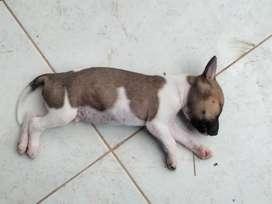 Anak Anjing Umur 3 bulan