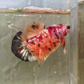 Cupang Nemo Gold Cooper F4
