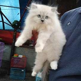 Kucing himalaya jantan