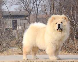 Chow chow puppies ready to import