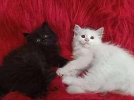 Persia flatnose jantan dan betina 2.5 bulan super longhair