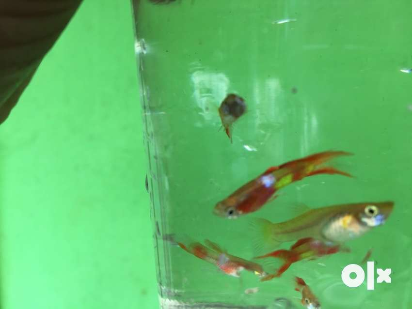 Red twisted tail guppy 0