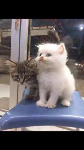 kucing persia original