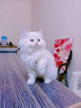 Pure white triple long coated kittens
