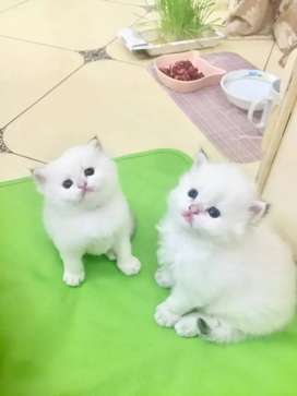 Very active beautiful Persian kitten for sale