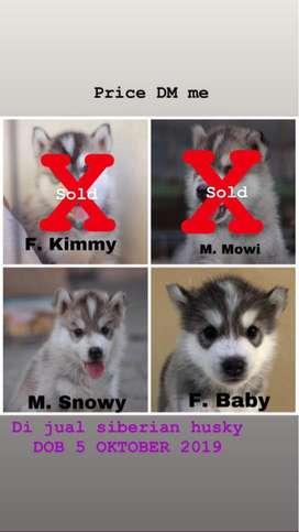 Dijual Anjing Siberian Husky 1 Male 1 Female
