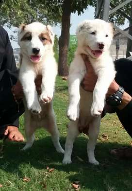 Afghan alabhi male or female pair 2month
