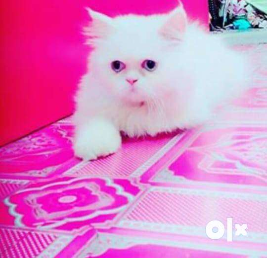 White Persian Cat - Blue Eyes 0