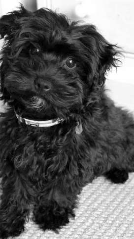 Shihtzu poodle male healthy and playfull
