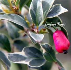 Bibit pohon Buah Jambu Liliphili Varigata langka