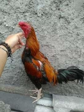 Jual bosen ayam Bangkok Birma jago & babon siap ternak